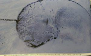 犬ぞりの犬。雪の中で寝ている。